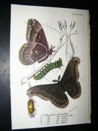 Allen & Kirby 1890's Antique Moth Print. Callasamia Promethea